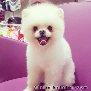 Hayvanlar Alemi Evcil Hayvanlar Köpek Pomeranian  - Boo Pomeranian Yavru ve Yetişkinler En Güvenilir