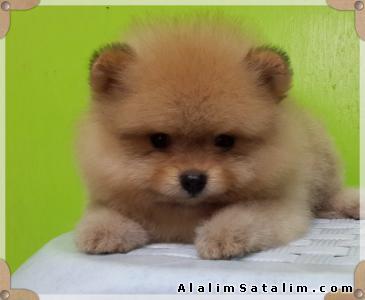 Hayvanlar Alemi Evcil Hayvanlar Köpek Pomeranian  - BOO DOG POMERANİAN YAVRU KÖPEKLER 0538 265 12 72