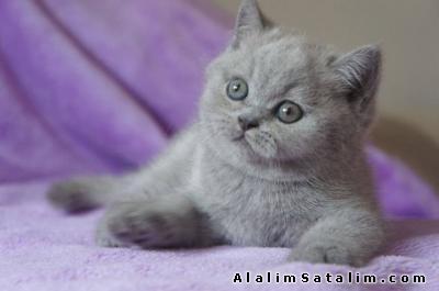 Hayvanlar Alemi Evcil Hayvanlar Kedi  British Shorthair  - BRİTİSH SHORTHAİR YAVRULARIMIZ ANNE ALTINDAN