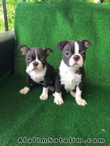 Hayvanlar Alemi Evcil Hayvanlar Köpek French Bulldog  - Anne baba secereli Boston terrier özel ırk türk
