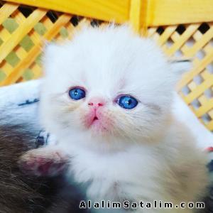 Hayvanlar Alemi Evcil Hayvanlar Kedi  İran  - Cream Point Pofidik  Safkan Himalaya Yavruları