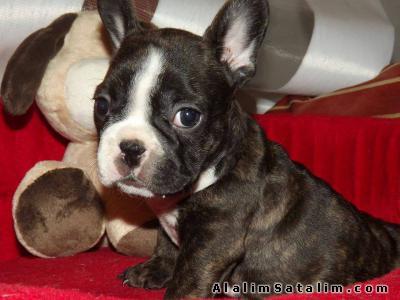 Hayvanlar Alemi Evcil Hayvanlar Köpek French Bulldog  - SİYAH HARİKA FRENCH BULLDOG