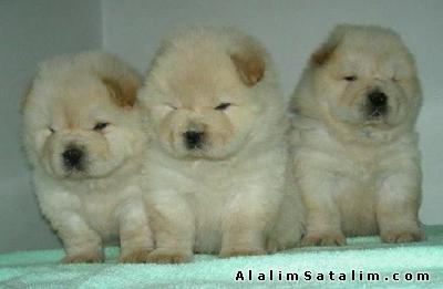 Hayvanlar Alemi Evcil Hayvanlar Köpek Chow Chow  - BEYAZZ CHOW CHOW  YAVRULARI 0534.467.6979