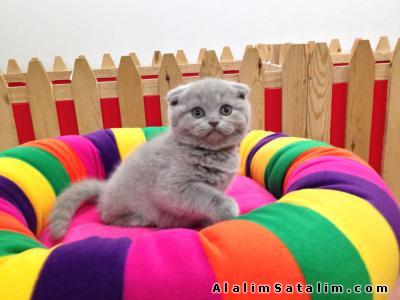 Hayvanlar Alemi Evcil Hayvanlar Kedi  Scottish Fold  - satılık lilac scottish fold yavruları
