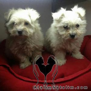 Hayvanlar Alemi Evcil Hayvanlar Köpek Maltese Terrier  - SATILIK MALTESE TERRİER YAVRULARR 0538 377 80 08