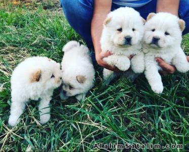 Hayvanlar Alemi Evcil Hayvanlar Köpek Chow Chow  - BEYAZ CHOW CHOW YAVRULAR İZMİRDE