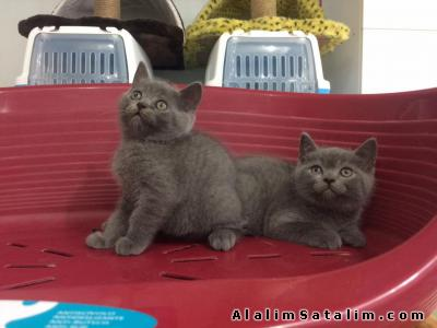 Hayvanlar Alemi Evcil Hayvanlar Kedi  British Shorthair  - SATILIK BLUE BRİTİSH SHORTHAİR YAVRULARI