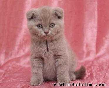 Hayvanlar Alemi Evcil Hayvanlar Kedi  Egzotic Shorthair  - EGZOTİK SHORTHAİR YAVRULARİ EN UYGUN FİYATLARLA