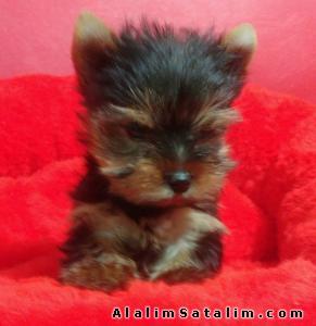 Hayvanlar Alemi Evcil Hayvanlar Köpek Yorkshire Terrier  - TEA CUP YORK SHİRE YAVRULARI 05344789928