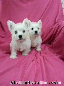 Hayvanlar Alemi Evcil Hayvanlar Köpek White Terrier  - WHİTE TERİER YAVRULAR  0534 478 99 28