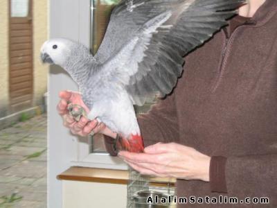 Hayvanlar Alemi Evcil Hayvanlar Kuş  Papağan  - KIRMIZI KUYRUK SİYAH GÖZ BEBEK JAKO PAPAĞANLARI