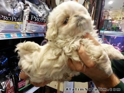 Hayvanlar Alemi Evcil Hayvanlar Köpek Pekinez  - SATILIK PEKİNE SYAVRULAR 05344789928