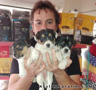 Hayvanlar Alemi Evcil Hayvanlar Köpek Jack Russel Terrier  - SATILIK JACK RUSSEL YAVRULARI 05344789928