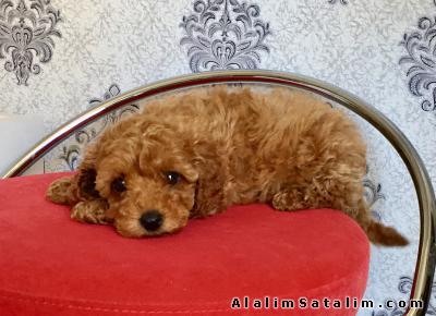 Hayvanlar Alemi Evcil Hayvanlar Köpek Poodle  - Red Toy Poodle Yavrular 0533 134 73 62