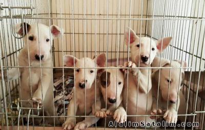 Hayvanlar Alemi Evcil Hayvanlar Köpek Bull Terrier  - SATILIK BULL TERRİER 0534.467.69.79