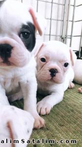 Hayvanlar Alemi Evcil Hayvanlar Köpek French Bulldog  - 20.08.2017 Doğumlu Yavrularimiz