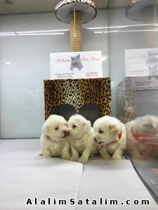 Hayvanlar Alemi Evcil Hayvanlar Köpek Maltese Terrier  - ANNE ALTINDAN KAR BEYAZ GERCEK MALTESS YAVRULARI