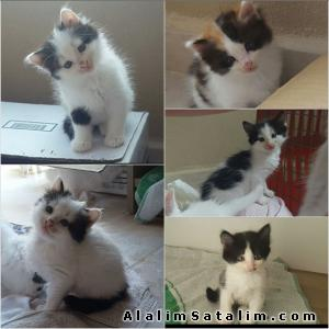 Hayvanlar Alemi Evcil Hayvanlar Kedi  Melez  - ucretsiz yavru kedi