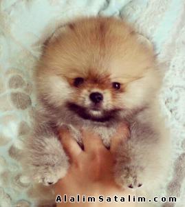 Hayvanlar Alemi Evcil Hayvanlar Köpek Pomeranian  - Boo Pomeranian Teddy Bear 0538 265 12 72