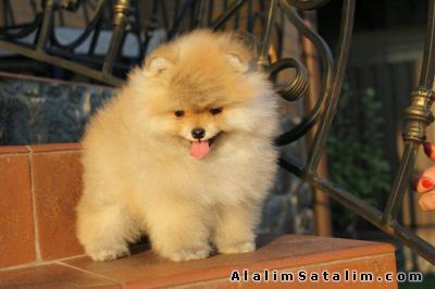 Hayvanlar Alemi Evcil Hayvanlar Köpek Pomeranian  - Boo Pomeranian