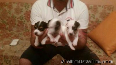 Hayvanlar Alemi Evcil Hayvanlar Köpek Jack Russel Terrier  - JACK RUSSELL TERRİER  YAVRULARI 0534.467.6979