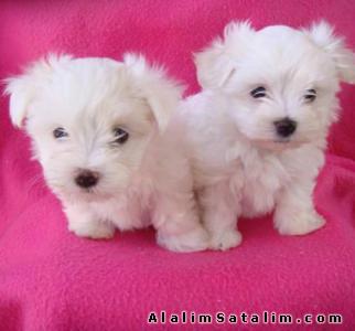 Hayvanlar Alemi Evcil Hayvanlar Köpek Maltese Terrier  - MALTESE TERRİER YAVRULARI 0534.467.6979