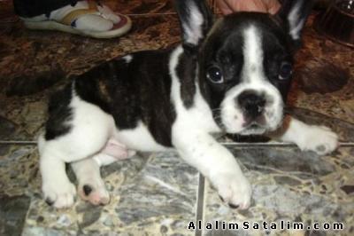 Hayvanlar Alemi Evcil Hayvanlar Köpek French Bulldog  - French bulldog Fransız bulldog yavruları satılık