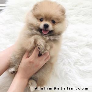 Hayvanlar Alemi Evcil Hayvanlar Köpek Pomeranian  - Secereli Pomeranian Yavrumuz  0532 170 43 63