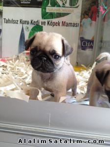 Hayvanlar Alemi Evcil Hayvanlar Köpek Pug  - BÜTÇENİZE UYGUN PUG YAVRULARIMIZ