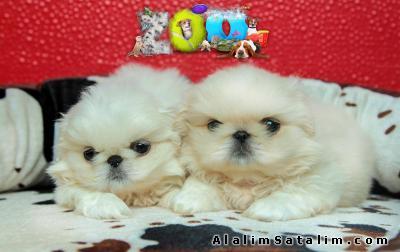 Hayvanlar Alemi Evcil Hayvanlar Köpek Pekinez  - İZMİR PEKİNEZ BEYAZ BEBEKLERİMİZ