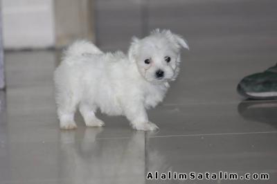 Hayvanlar Alemi Evcil Hayvanlar Köpek Maltese Terrier  -  MALTESE TERRİER YAVRUMUZ