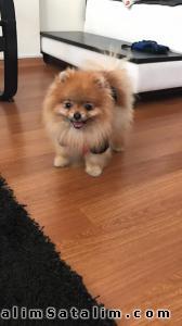 Hayvanlar Alemi Evcil Hayvanlar Köpek Pomeranian  - TUVALET EĞİTİMLİ SHOW KALİTE BOO 5342890039