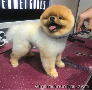 Hayvanlar Alemi Evcil Hayvanlar Köpek Pomeranian  - POMERANİAN BOO BEBİSLERİMİZ UYGUN FIYATLARLA
