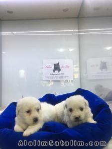Hayvanlar Alemi Evcil Hayvanlar Köpek Maltese Terrier  - MALTES YAVRULARI SHIT TZU VE ŞİVAVA YAVRULAR ANK