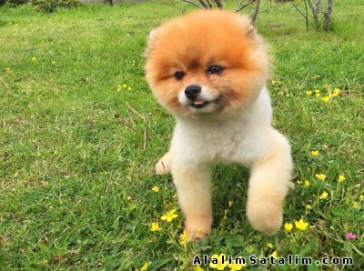 Hayvanlar Alemi Evcil Hayvanlar Köpek Pomeranian  - BEST POMERANİAN BOO