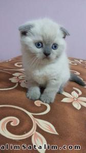 Hayvanlar Alemi Evcil Hayvanlar Kedi  Scottish Fold  - SCOTTİSH FOLD BEBEKLERIMIZ uygun fiyatlarla