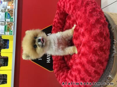 Hayvanlar Alemi Evcil Hayvanlar Köpek Pomeranian  - TEA CUP SECERELİ POMERANİAN BOO (1.5kg)SAFARİ DE
