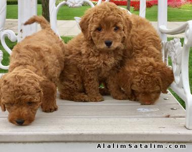 Hayvanlar Alemi Evcil Hayvanlar Köpek Poodle  - Secereli Red Toy Poodle Yavrular 0533 134 73 62