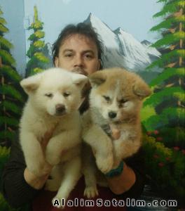 Hayvanlar Alemi Evcil Hayvanlar Köpek Akita İnu  - SATILIK JAPON AKİTA İNU YAVRULARI 05344789928
