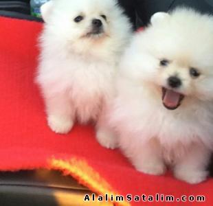Hayvanlar Alemi Evcil Hayvanlar Köpek Pomeranian  - POMERANİAN YAVRULARIMIZ BÜTÇENİZE UYGUN