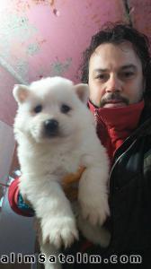 Hayvanlar Alemi Evcil Hayvanlar Köpek Samoyed  - SATILIK SAMOYED YAVRULARI 05344789928