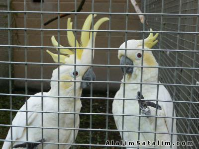 Hayvanlar Alemi Evcil Hayvanlar Kuş  Papağan  - YILBAŞINA ÖZEL İNDİRİMLERLE KAKADU PAPAĞANLAR