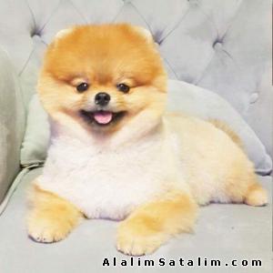 Hayvanlar Alemi Evcil Hayvanlar Köpek Pomeranian  - BOO POMERANİAN TEDDY BEAR ORJİNAL 0538 265 12 72