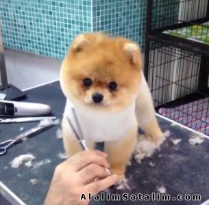 Hayvanlar Alemi Evcil Hayvanlar Köpek Pomeranian  - BOO POMERANİAN YAVRULARI SATILIK05059886484