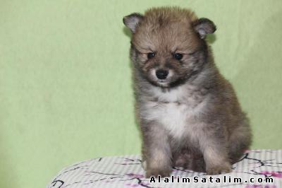 Hayvanlar Alemi Evcil Hayvanlar Köpek Pomeranian  - MİNİ BOY POMERANİAN BOO YAVRUMUZ