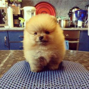 Hayvanlar Alemi Evcil Hayvanlar Köpek Pomeranian  - Pomeranian Boo Satılık Yavrular 0543 223 4403