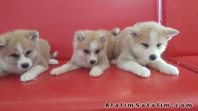 Hayvanlar Alemi Evcil Hayvanlar Köpek Akita İnu  -  AKİTA İNU YAVRULARI 05344789928