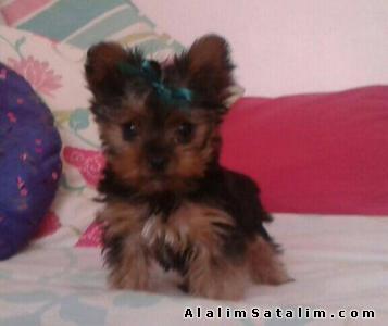 Hayvanlar Alemi Evcil Hayvanlar Köpek Yorkshire Terrier  - YORK SHİRE TERİERR YAVRULAR