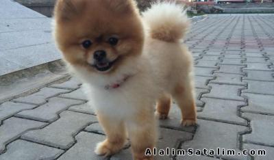 Hayvanlar Alemi Evcil Hayvanlar Köpek Pomeranian  - UYGUN FİYATLARLA POMERANİAN BOO YAVRULARMZ