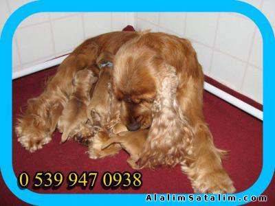 Hayvanlar Alemi Evcil Hayvanlar Köpek American Coccer  - AMERİKAN KUKIR UZUN KULAKLI SEMPATİK YAVRULAR